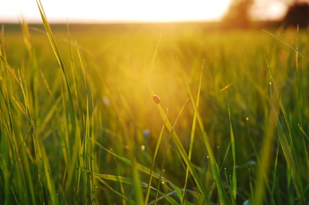 evening in the meadow, with a ladybug in backlight, quiet mood Stock Photo - 21650302
