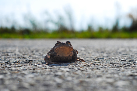 frog toad on the road looking right lens funny but sad stock photo