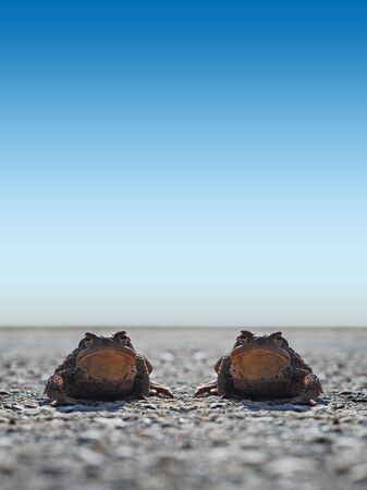 Frogs Toad on the road looking right lens, funny but sad