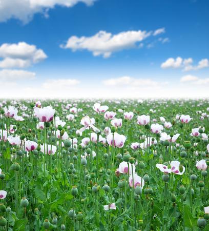 Field sown with poppy Opium poppy in bloom photo