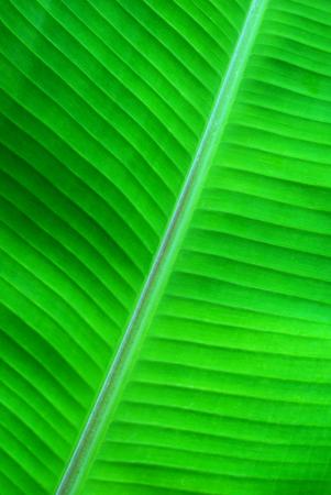 green background made of banana leaves, green sharp structure Reklamní fotografie