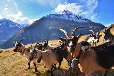 herd of goats in the high mountains, a goat farm in the mountains Stock Photo