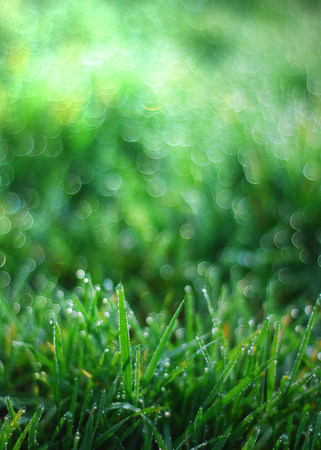 fresh spring grass with dew drops, green background Stock Photo