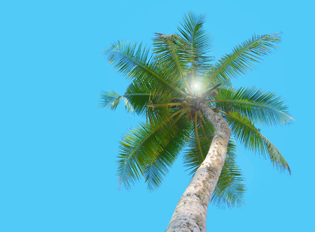 Green palm with coconut under blue sky with sun between leaves Stock Photo