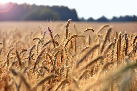 Ripe ears of grain, field crops in August before harvest Stock Photo