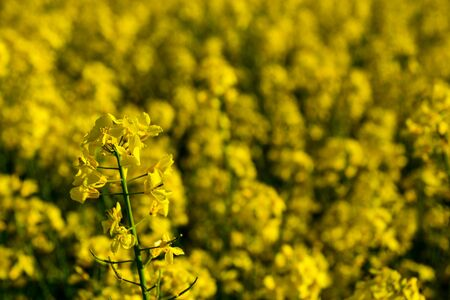 Field with flowering with rapeseed oil and plants close-up