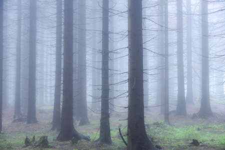 Foggy sad forest, trees disappearing in the white fog Stock Photo
