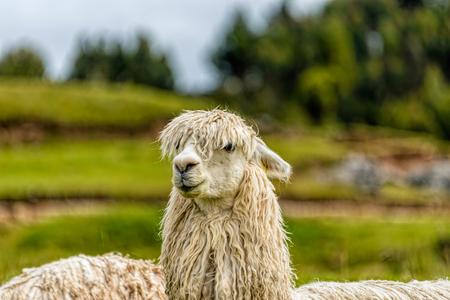 Head of White Lama in Ancient Inca Citadel, Cuzco, Peru