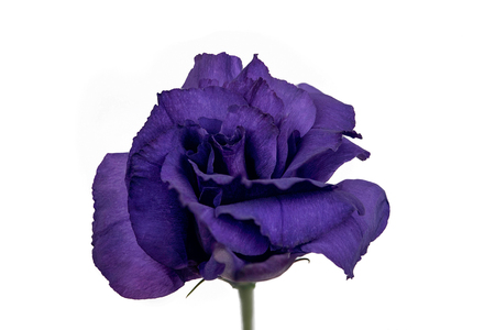 Closeup focus stacked shot of a purple flower isolated on white background with clipping path