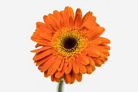 Closeup focus stacked shot of an orange chrysanthemum isolated on white background with clipping path