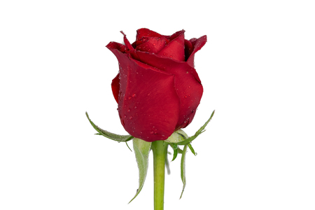 Closeup focus stacked shot of an isolated red rose isolated on white background with clipping path
