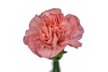 Closeup focus stacked shot of a pink carnation isolated on white background with clipping path
