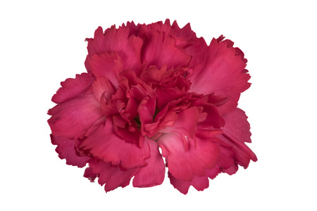 Closeup focus stacked shot of a red carnation isolated on white background with clipping path Reklamní fotografie