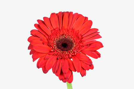 Closeup focus stacked shot of a red chrysanthemum isolated on white background with clipping path Reklamní fotografie