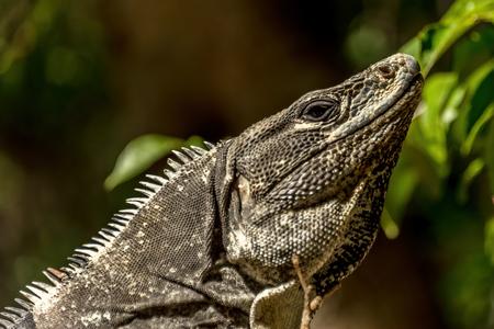 An iguana, lizard known as the Tolok in Yucatan Mexico