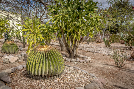 A family of cactus in the gardens of the archeological site of Mitla, Oaxaca, Mexico Reklamní fotografie
