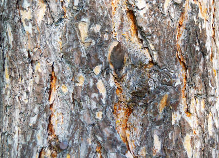 the natural background pine bark photo