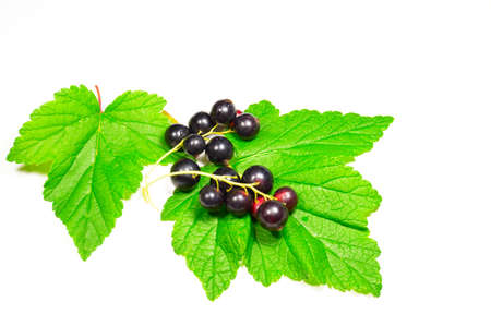 panicle: panicle black currant on green leaves isolated