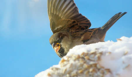 ruffled: ruffled sparrow in the winter time