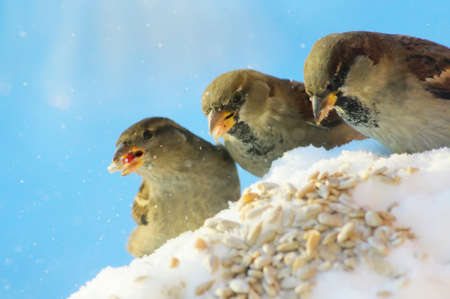 winter time: three friends-sparrow in winter time