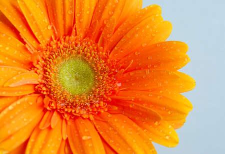 p�querette: the orange gerbera flowers blossom petals macro