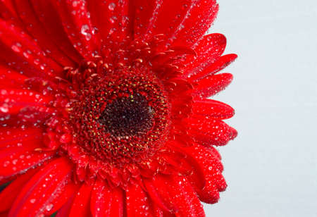 daisy flower: drops of dew on the petals of gerbera flowers macro Stock Photo