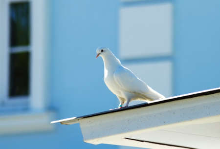 doublet: White dove on the roof old building