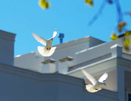 doublet: two beautiful white doves flying in the spring sky