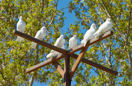 doublet: beautiful white doves - a symbol of peace and love