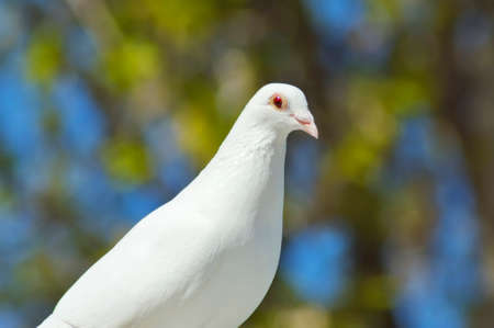 doublet: beautiful white dove in spring close-up Stock Photo