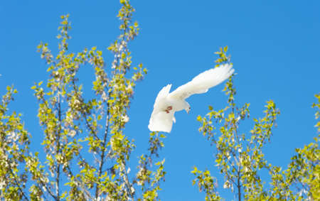 doublet: beautiful white dove in flight on a background trees
