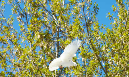 doublet: snow-white dove in flight above the trees