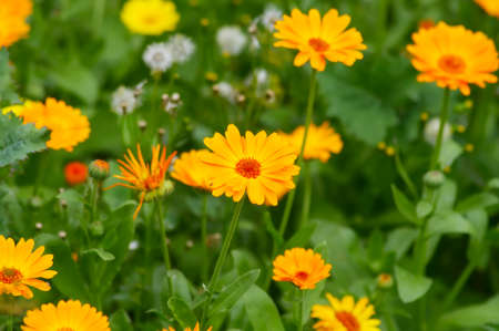 abloom: blooming calendula in the summer afternoon