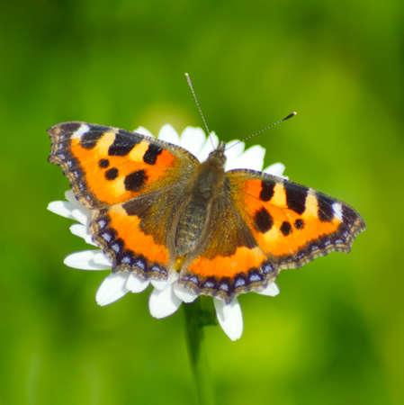 pokrzywka: pokrzywka Motyl na kwiat makro rumianku Zdjęcie Seryjne