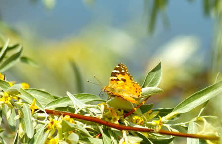 nymphalidae: Orange butterfly on a branch with flowers