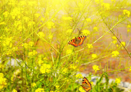 Two beautiful butterflies on yellow flowers under the sun Stock Photo