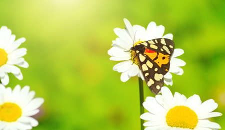 nymphalidae: Summer butterfly on a daisy flowers