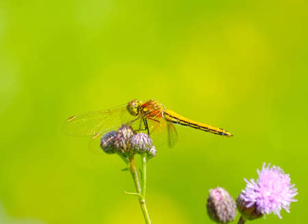Beauty of nature. Yellow dragonfly on a flower