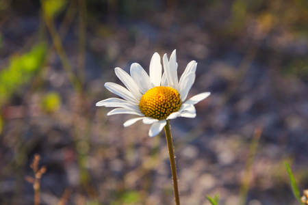 ox eye: Camomile in the field Stock Photo