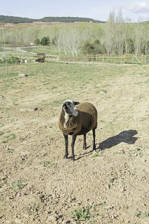 Domestic sheep in rural farm animals photo