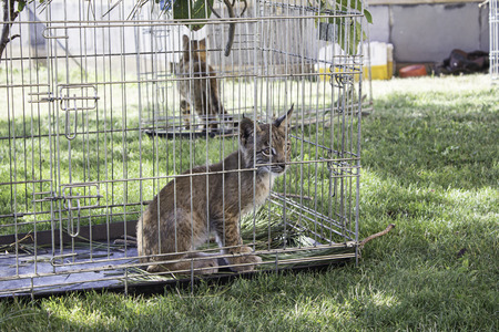 caged: Lynx caged animal on display, nature Stock Photo