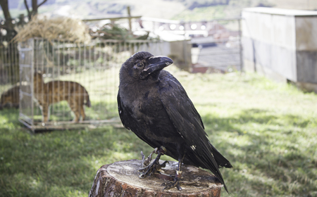 falconry: Black crow in falconry exhibition, animals Stock Photo