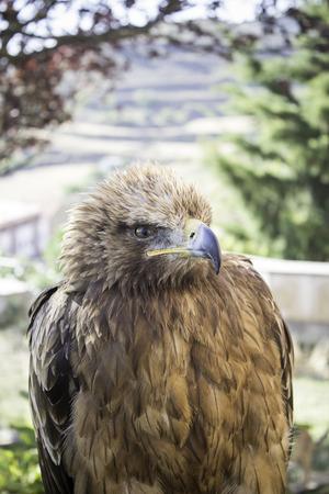 falconry: Brown eagle falconry exhibition, animals