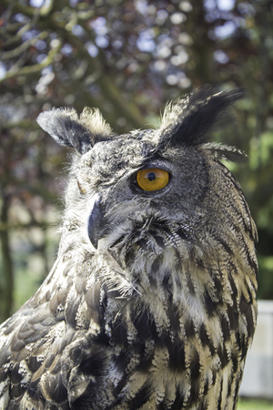 falconry: Owl falconry in natural park, animals Stock Photo