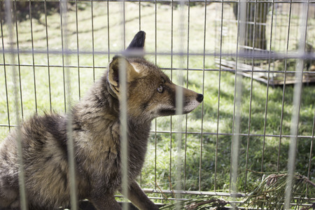 Fox caged wild animals on display, nature photo