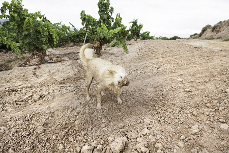 adoptive: Dog hunting muddy field vineyards