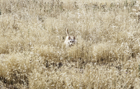 Hound dog hunting in wheat field Stock Photo