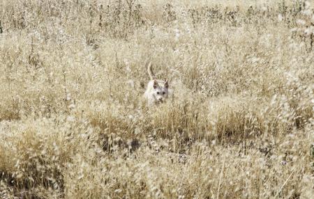 adoptive: Hound dog hunting in wheat field Stock Photo