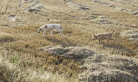adoptive: Hound dog hunting in wheat field with golden retriever