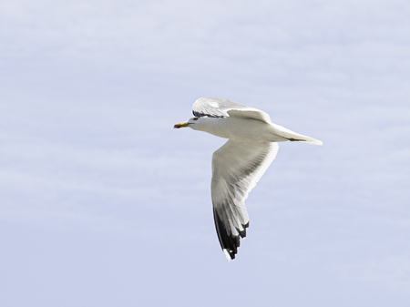 Seagull flying over cloudy sky, animals and birds Stock Photo